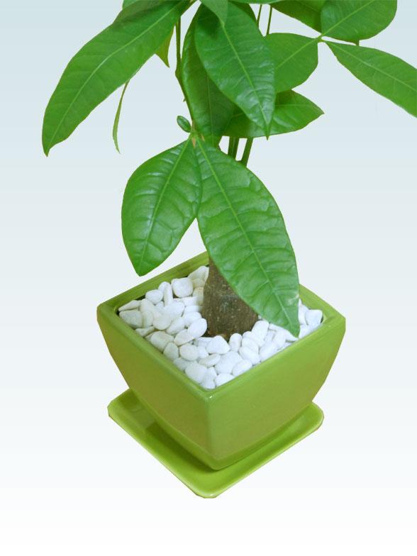 パキラ(陶器鉢植込み、4号スクエア緑色6