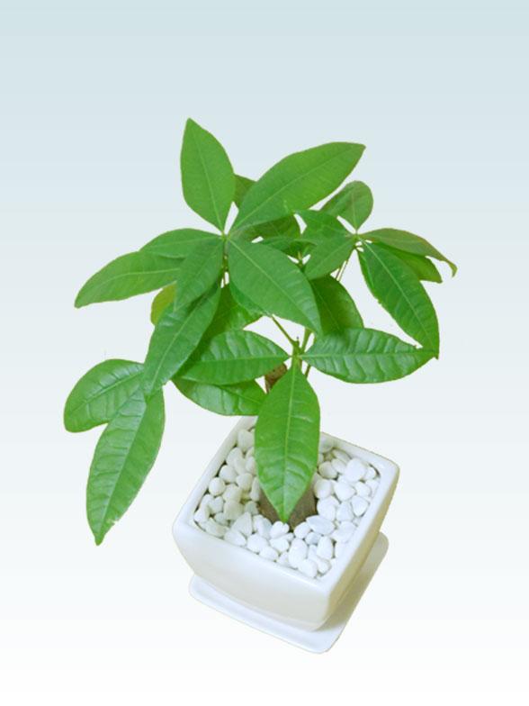 パキラ(陶器鉢植込み、4号スクエア白色6