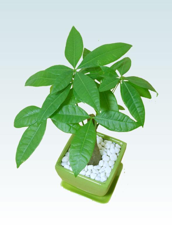 パキラ(陶器鉢植込み、4号スクエア緑色7