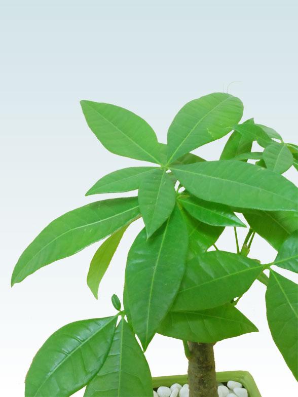 パキラ(陶器鉢植込み、4号スクエア緑色8