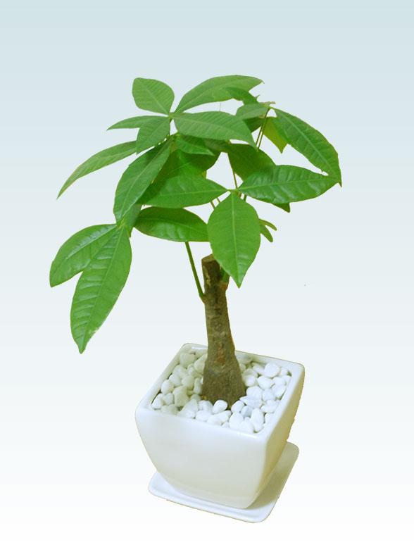 パキラ(陶器鉢植込み、4号スクエア白色8
