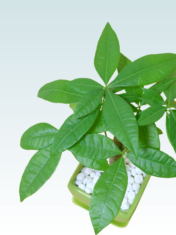パキラ(陶器鉢植込み、4号スクエア緑色9