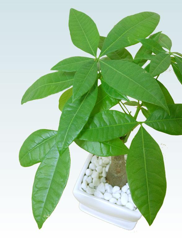 パキラ(陶器鉢植込み、4号スクエア白色9