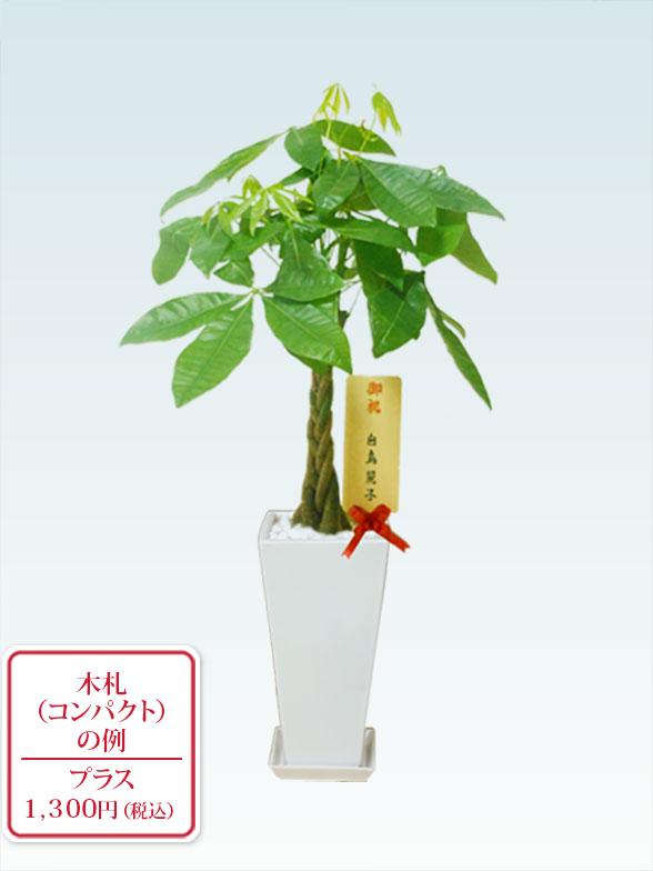 パキラ(陶器鉢植込み、6号スクエア白色) 9