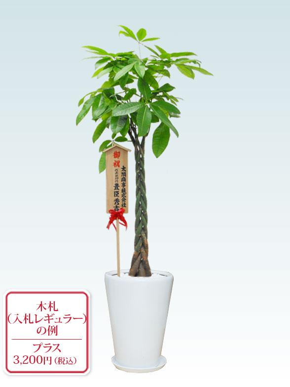 パキラ(陶器鉢植込み、ラウンドタイプ白色) Lサイズ 10