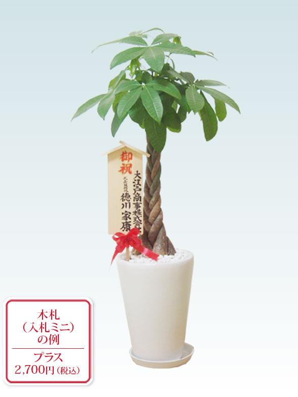 パキラ(陶器鉢植込み、ラウンドタイプ白色) 10