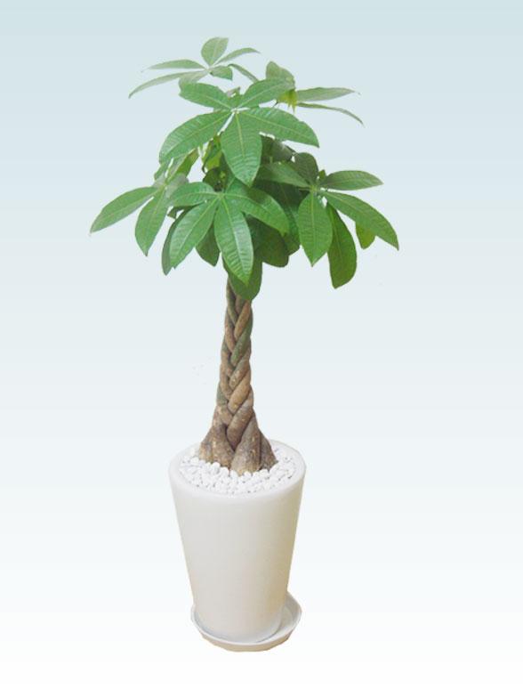 パキラ(陶器鉢植込み、ラウンドタイプ白色) 20
