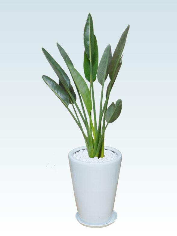 ストレリチア・レギネ8号(陶器鉢植込み、ラウンドタイプ白色)1