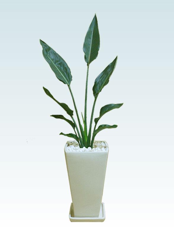 ストレリチア・レギネ(陶器鉢植込み、6号スクエア白色) 1