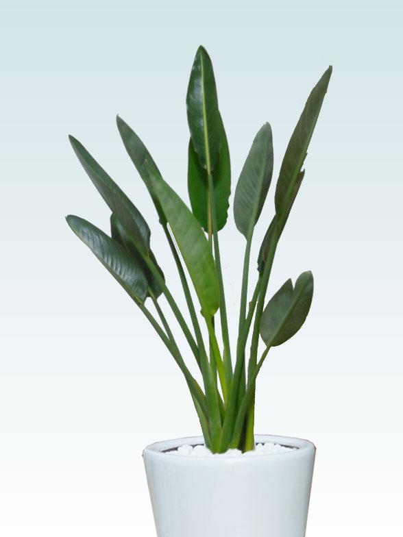 ストレリチア・レギネ8号(陶器鉢植込み、ラウンドタイプ白色)2