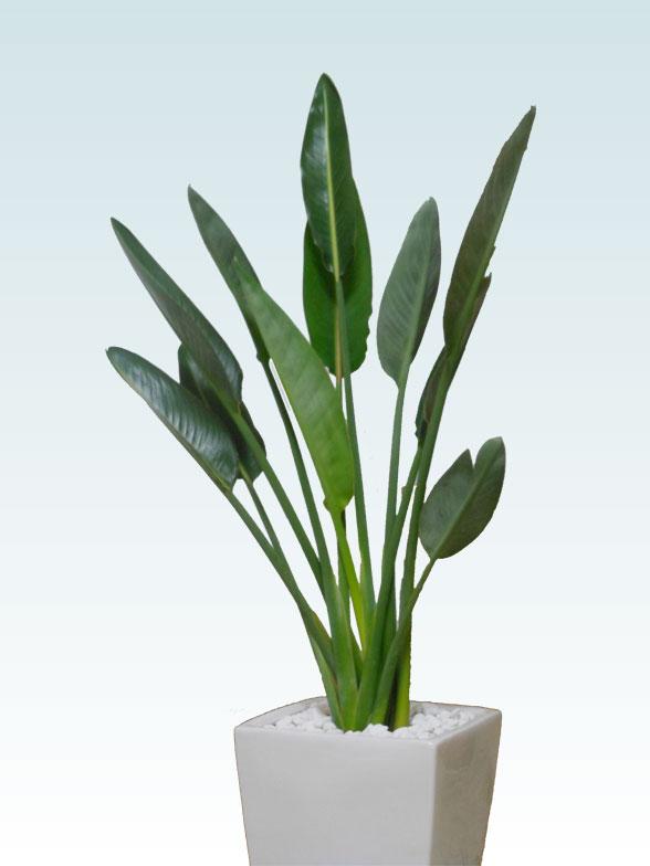 ストレリチア・レギネ8号(陶器鉢植込み、スクエアタイプ白色) 2