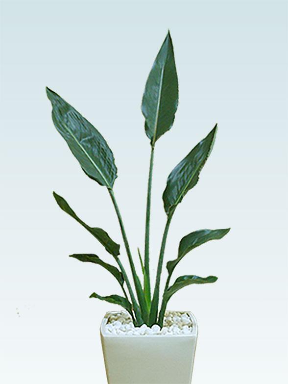ストレリチア・レギネ(陶器鉢植込み、6号スクエア白色) 2
