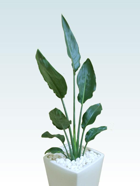 ストレリチア・レギネ(陶器鉢植込み、6号スクエア白色) 3