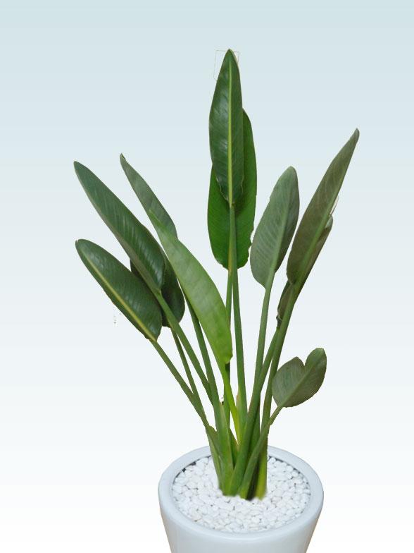 ストレリチア・レギネ8号(陶器鉢植込み、ラウンドタイプ白色)4