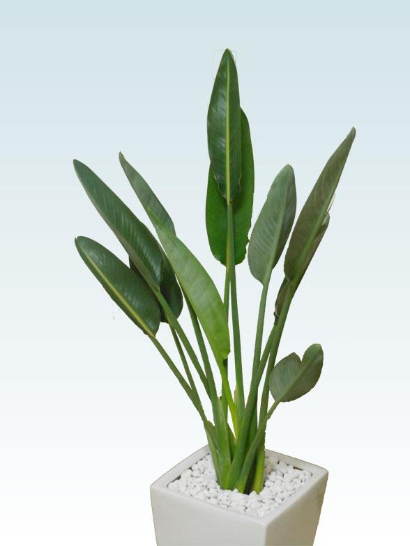 ストレリチア・レギネ8号(陶器鉢植込み、スクエアタイプ白色) 4