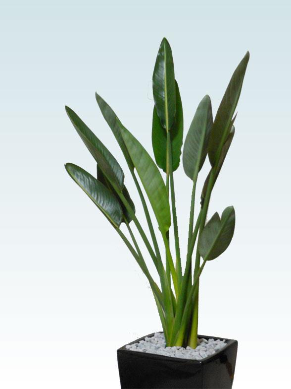 ストレリチア・レギネ8号(陶器鉢植込み、スクエアタイプ黒色) 4