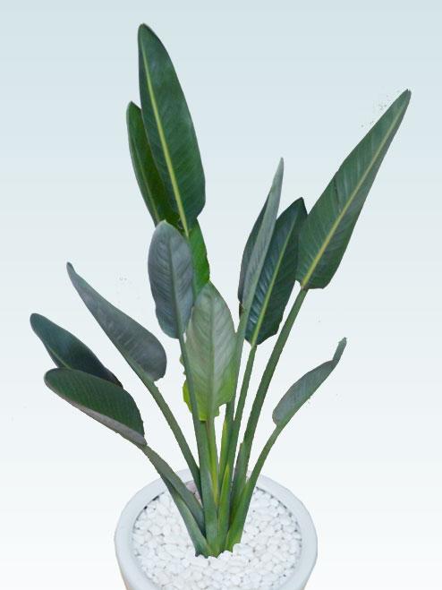 ストレリチア・レギネ8号(陶器鉢植込み、ラウンドタイプ白色)5