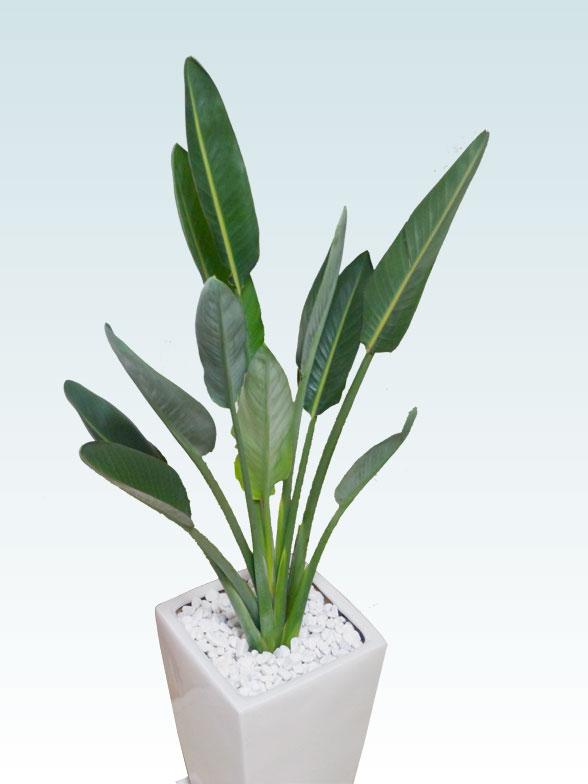 ストレリチア・レギネ8号(陶器鉢植込み、スクエアタイプ白色) 5