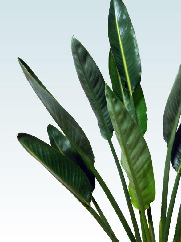 ストレリチア・レギネ8号(陶器鉢植込み、スクエアタイプ黒色) 6