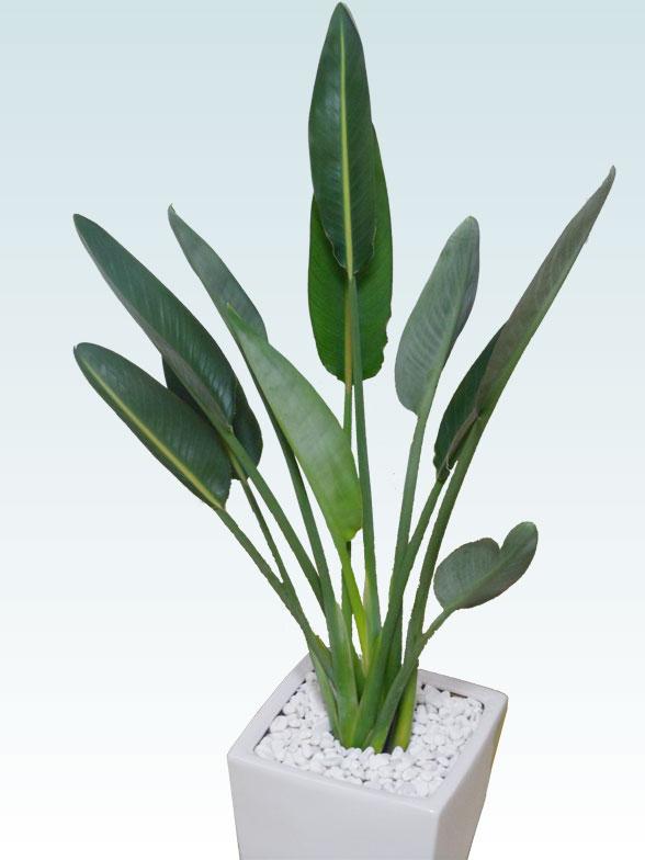 ストレリチア・レギネ8号(陶器鉢植込み、スクエアタイプ白色) 8