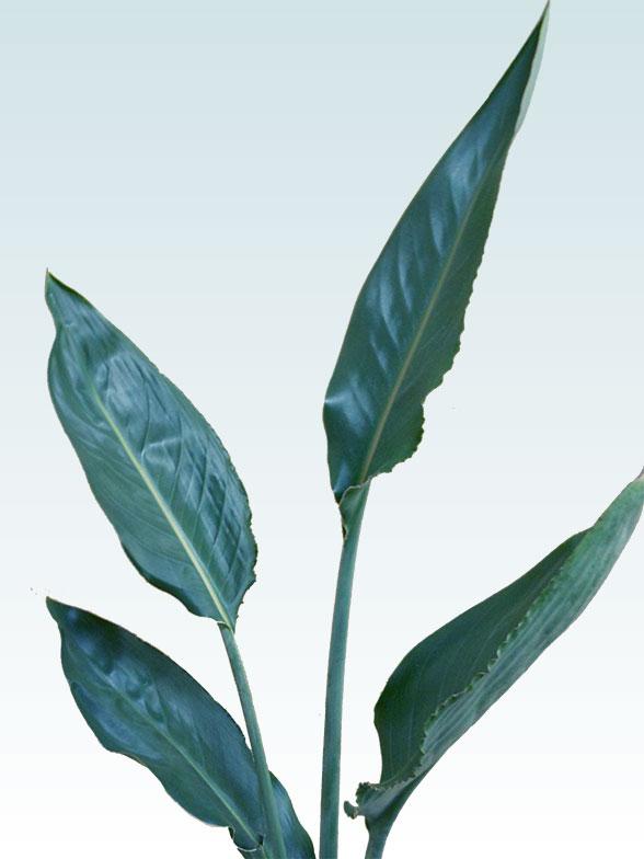 ストレリチア・レギネ(陶器鉢植込み、6号スクエア白色) 8