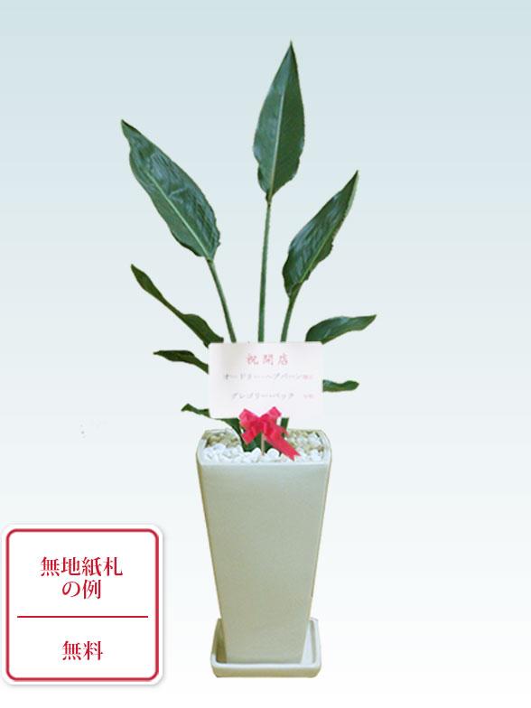 ストレリチア・レギネ(陶器鉢植込み、6号スクエア白色) 9