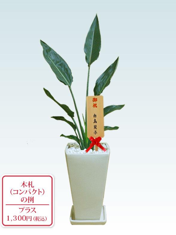 ストレリチア・レギネ(陶器鉢植込み、6号スクエア白色) 10
