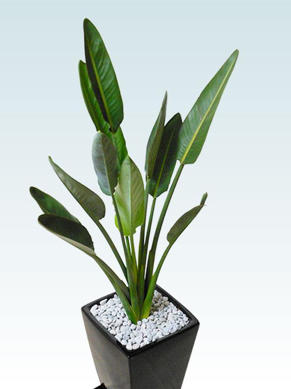 ストレリチア・レギネ8号(陶器鉢植込み、スクエアタイプ黒色) 20