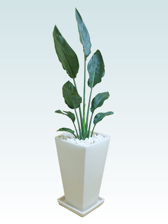 ストレリチア・レギネ(陶器鉢植込み、6号スクエア白色) 20