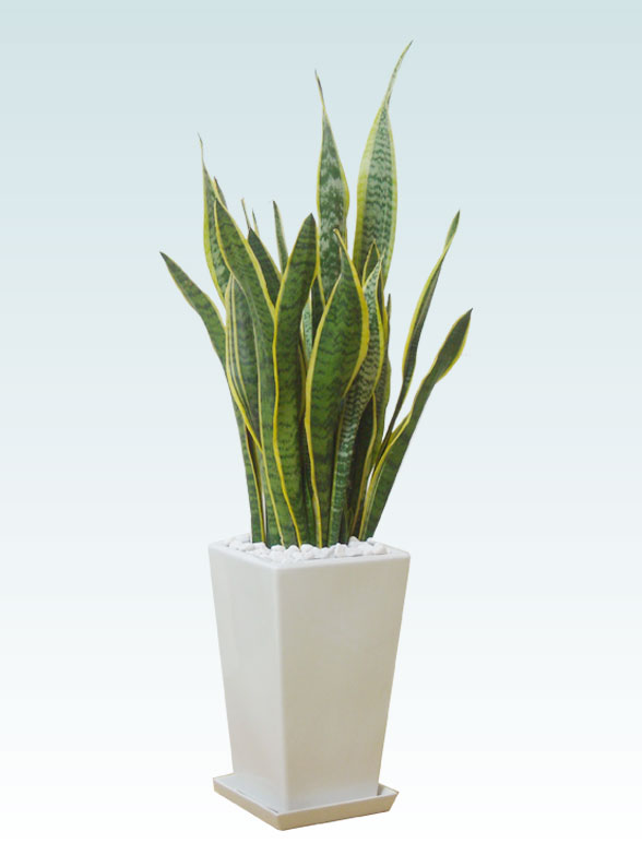 サンセベリア(陶器鉢植込み、スクエアタイプ白色) 1