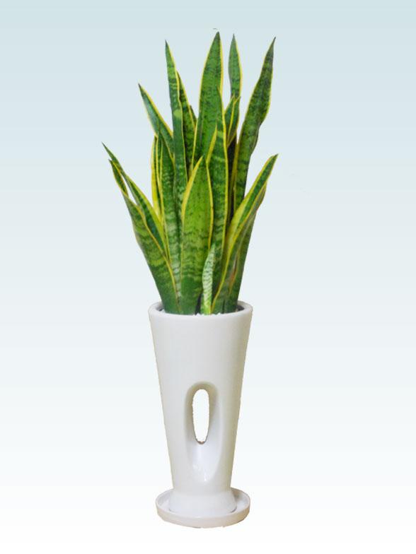 サンセベリア(陶器鉢植込み、穴あきタイプ白色) 1