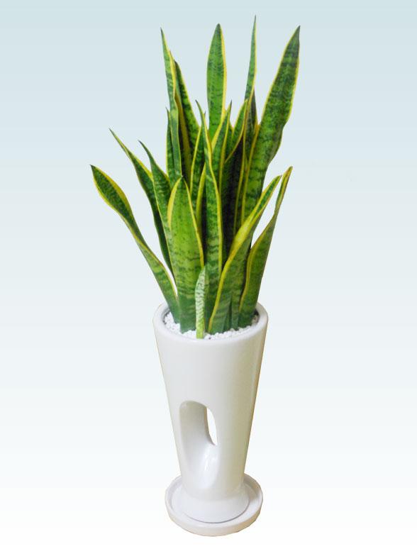 サンセベリア(陶器鉢植込み、穴あきタイプ白色) 6