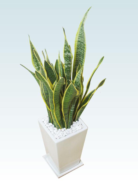 サンセベリア(陶器鉢植込み、スクエアタイプ白色) 8