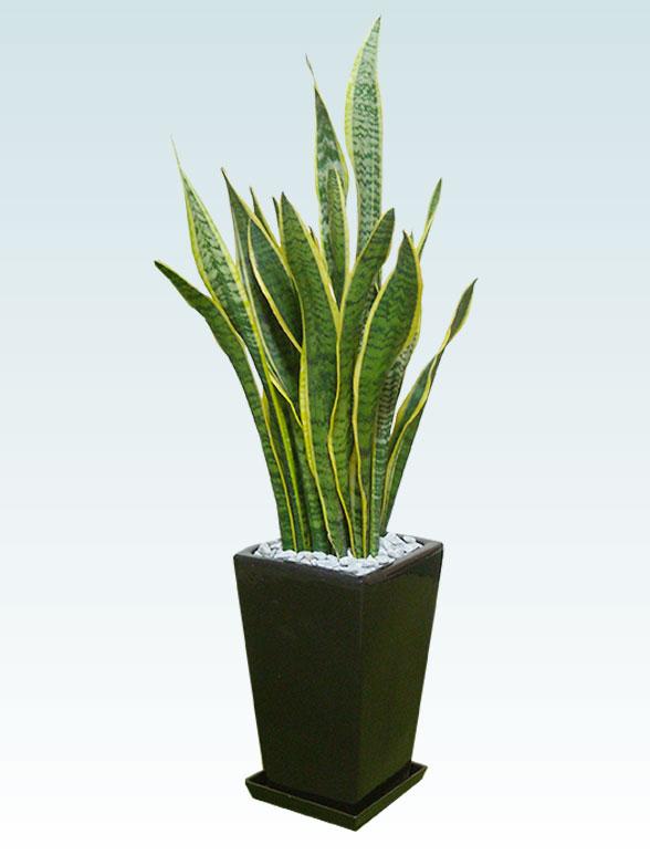 サンセベリア(陶器鉢植込み、スクエアタイプ黒色) 16