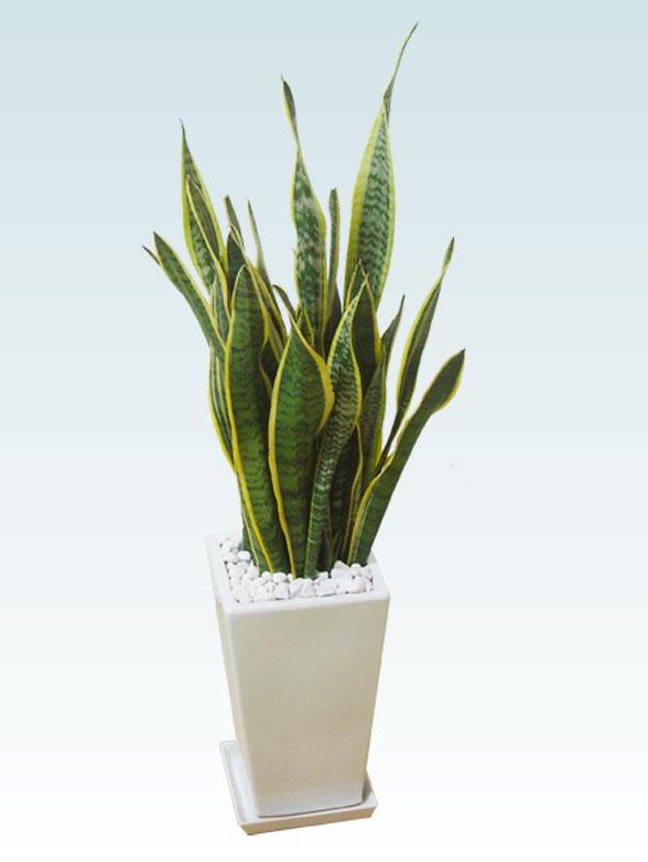 サンセベリア(陶器鉢植込み、スクエアタイプ白色) 17