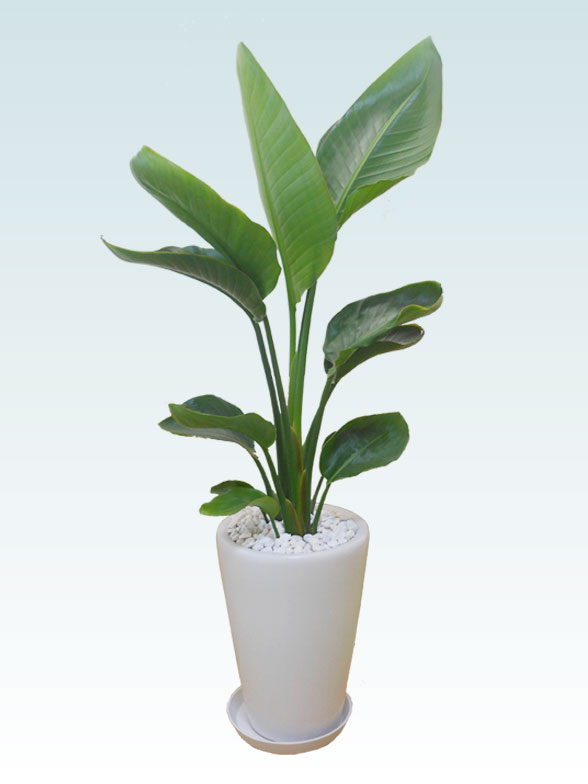 ストレリチア・オーガスタ(陶器鉢植込み、ラウンドタイプ白色) 1