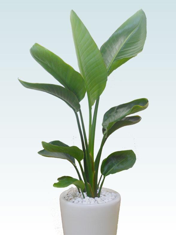 ストレリチア・オーガスタ(陶器鉢植込み、ラウンドタイプ白色) 2