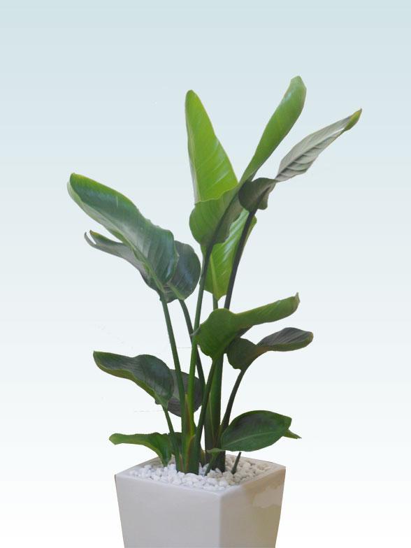 ストレリチア・オーガスタ(陶器鉢植込み、スクエアタイプ白色) 2
