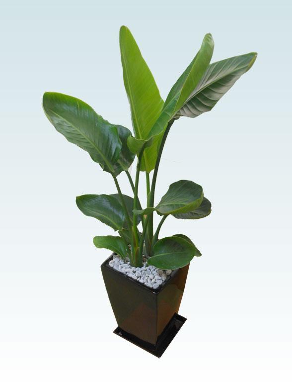 ストレリチア・オーガスタ(陶器鉢植込み、スクエアタイプ黒色) 4