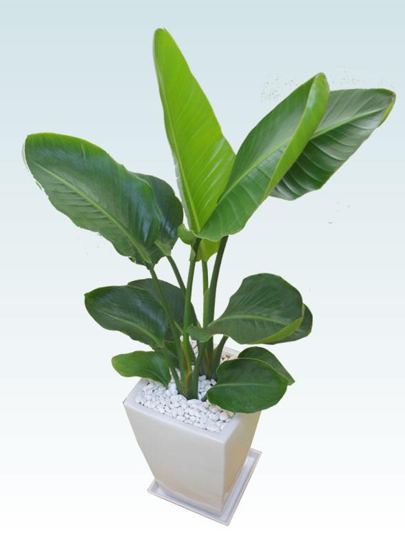 ストレリチア・オーガスタ(陶器鉢植込み、スクエアタイプ白色) 5
