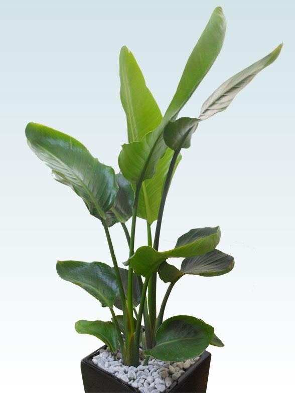 ストレリチア・オーガスタ(陶器鉢植込み、スクエアタイプ黒色) 5