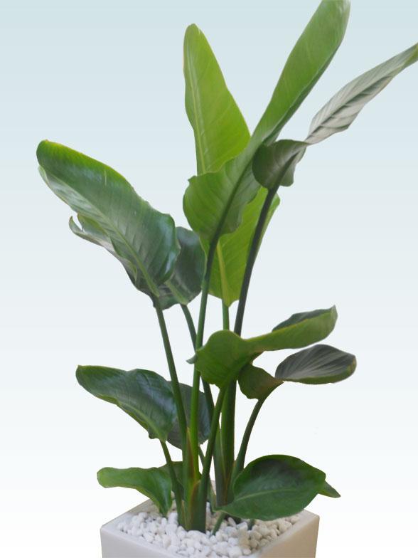ストレリチア・オーガスタ(陶器鉢植込み、スクエアタイプ白色) 6