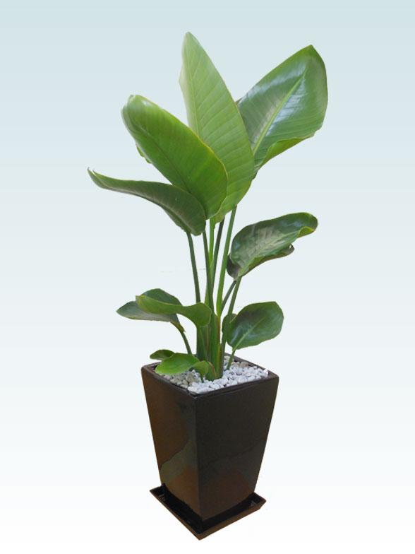 ストレリチア・オーガスタ(陶器鉢植込み、スクエアタイプ黒色) 6