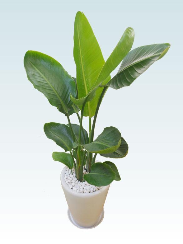 ストレリチア・オーガスタ(陶器鉢植込み、ラウンドタイプ白色) 7