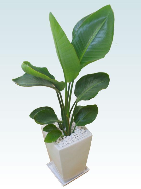 ストレリチア・オーガスタ(陶器鉢植込み、スクエアタイプ白色) 7