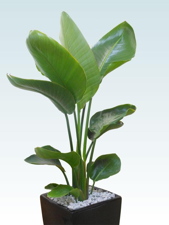 ストレリチア・オーガスタ(陶器鉢植込み、スクエアタイプ黒色) 7