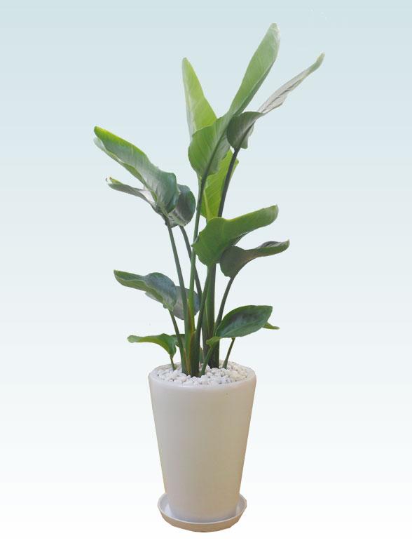 ストレリチア・オーガスタ(陶器鉢植込み、ラウンドタイプ白色) 8