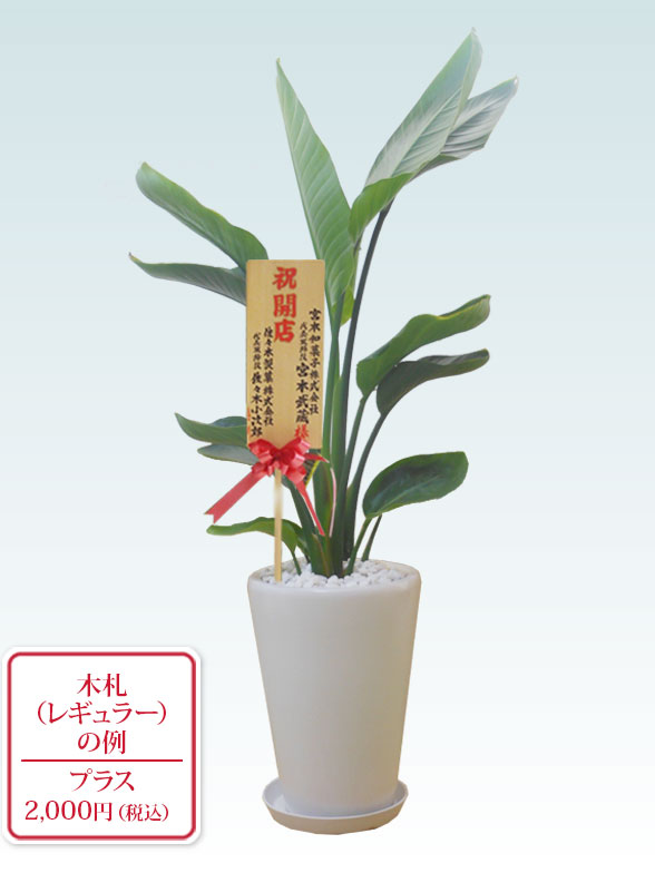 ストレリチア・オーガスタ(陶器鉢植込み、ラウンドタイプ白色) 9