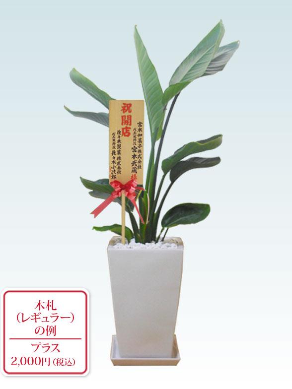 ストレリチア・オーガスタ(陶器鉢植込み、スクエアタイプ白色) 9