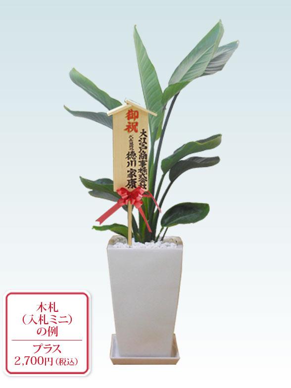 ストレリチア・オーガスタ(陶器鉢植込み、スクエアタイプ白色) 10
